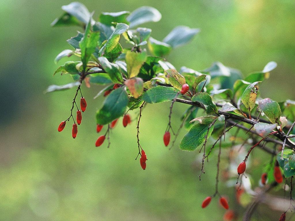 Epine vinette patrimoine du morvan for Plante ligneuse