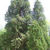 Un bel ensemble de séquoïa : la relève est assurée.( © M Olivier Thiébaut (PNRM) )