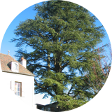 Un magnifique cèdre dans le parc d'une propriété.( © M Olivier Thiébaut (PNRM) )