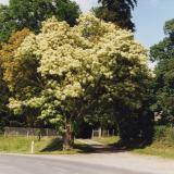 Le frêne à fleur, une variété ornementale des parcs et jardins à la floraison magnifique (avril à juin).( © M Jean Arnoux )