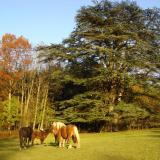 Un cèdre majestueux pour le plus grand plaisir des chevaux.( © Mme Chantal Samsoen Joubert )