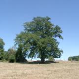 Un gros chêne au milieu de la prairie( © Mme Nicole Vernochet )