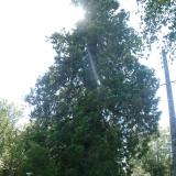 Un séquoïa, marquant une propriété.( © M Olivier Thiébaut (PNRM) )