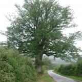 Un gros chêne fourchu en bord de route.( © Melle Cécile Grimaldi (PNRM) )