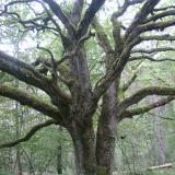 Un gros chêne aux branches partant dans tous les sens.( © Melle Cécile Grimaldi (PNRM) )