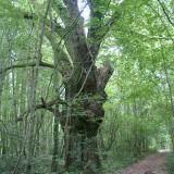 Un chêne dépérissant, mais conservé en place. ( © Melle Cécile Grimaldi (PNRM) )